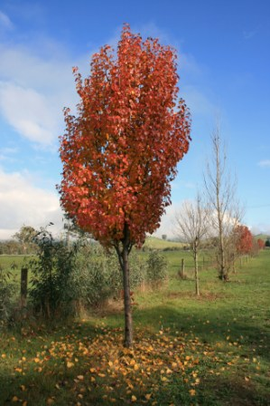 Lipstick Maple Tree - Strathglen Station, Strath Creek 2010 Photographed by Abstract Artist Karen Robinson