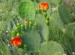 Prickly Pear Cactus with show of spines, fruit and flowers [Photo ID: imagesW166IWW4] Retrieved 9/11/2014