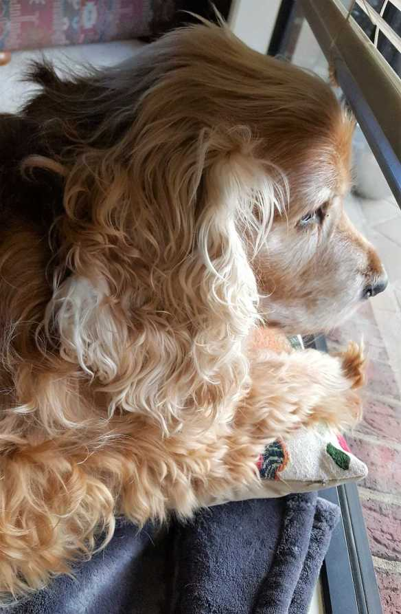 1 of 2 Jessie is patient and deligent with such a longing to see his master's return at the end of a day - dear old dog by Karen Robinson .jpg