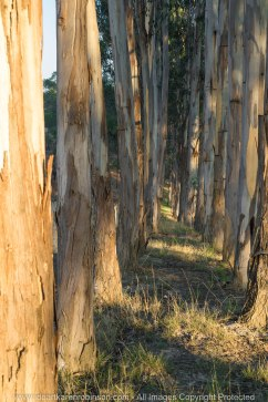Bruthen, Victoria - Australia 'Farmland'_Photographed by ©Karen Robinson_www.idoartkarenrobinson.com_April 2017. Comments: My husband, daughter and I spent some time at my husband's brother's farm where we got to reconnect with nature. The early mornings were particularly beautiful, especially how the rising sun light stretched out across and through the trees, leaving long casing shadows.