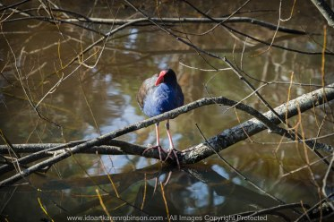 "Daylesford Region, Victoria - Australia ""Jubilee Lake""_ Photographed by ©Karen Robinson www.idoartkarenrobinson.com June 2017. Comments: Husband and I visiting the region to take photographs on this beautiful, fresh winter's day. Saw Purple Swamphen Waterbird."