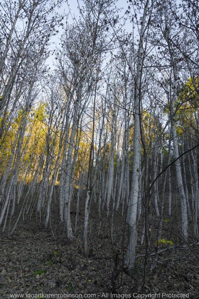 """Daylesford Region, Victoria - Australia """"Mount Franklin - Birch Trees""""_ Photographed by ©Karen Robinson www.idoartkarenrobinson.com June 2017. Comments: Husband and I visiting the region to take photographs on this beautiful, fresh winter's day."""