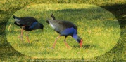 Yan Yean Region, Victoria - Australia_Photographed by ©Karen Robinson www.idoartkarenrobinson.com 2017 Aug 27 Comments: Chilly Winter's day just off Ridge Road at Yan Yean Top Lookout - Yan Yean Reservoir Park. Featured here above Purple Swamp-hen Waterbirds.