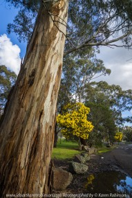 Yan Yean Region, Victoria - Australia_Photographed by ©Karen Robinson www.idoartkarenrobinson.com 2017 Aug 27 Comments: Chilly Winter's day just off Ridge Road at Yan Yean Top Lookout - Yan Yean Reservoir Park. Featured here Black Wattle Trees, among the tallest of the wattles.