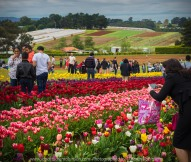 "Silvan, Melbourne - Australia ""Tesselaar Tulip Festival"" Photographed by Karen Robinson NB Copyright Protected_ www.idoartkarenrobinson.com October 07, 2017.."