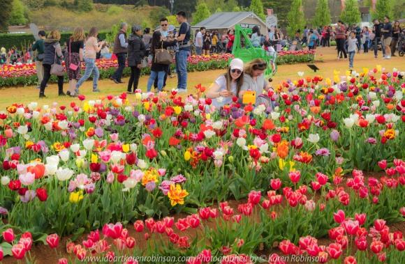 "Silvan, Melbourne - Australia ""Tesselaar Tulip Festival"" Photographed by Karen Robinson NB Copyright Protected_ www.idoartkarenrobinson.com October 07, 2017."