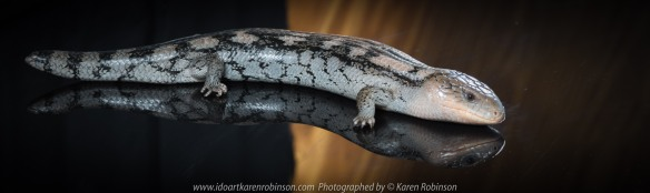 Craigieburn, Victoria - Australia_Photographed by Karen Robinson November, 2017 Comments: A couple of hours with the Craigieburn Camera Club taking photographs of anAlbino Darwin Carpet Python, Angle-Headed Dragon, Blotched Blue-Tongue Lizard, Magnificent Tree Frog, Shingleback Lizard, Tawny Frogmouth Owl and a Leaf Stick Insect - all provided by Aussie Wildlife Displays - Australian Animals. www.idoartkarenrobinson.com Featuring Blotched Blue-Tongue Lizard