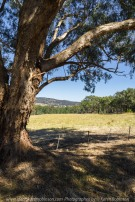 Gooram, Victoria - Australia 'Killeens Hill Road' Photographed by Karen Robinson Dec 2017 www.idoartkarenrobinson.com NB. All images are protected by copyright laws. Comments: Our first stop for the day capturing cattle grazing fields bathed in bright sunlight against clear blue skies.