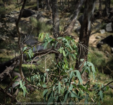Gooram, Victoria - Australia 'Seven Creeks Wildlife Reserve' Photographed by Karen Robinson Dec 2017 www.idoartkarenrobinson.com NB. All images are protected by copyright laws. Comments: We stopped for lunch amongst the tranquil surroundings of the Seven Creeks and view the Gooram Falls. Featured here - Australian gum leaves, a favourite food for Koalas.