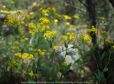 Whitlands, Victoria - Australia 'Powers Lookout' Photographed by Karen Robinson Dec 2017 www.idoartkarenrobinson.com NB. All images are protected by copyright laws. Comments: Here we had the opportunity to experience incredible views across the King River Valley. Featured here are 'Senecio Amygdalifolius ' yellow wild flowers we sighted alongside of the creek.