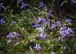 Whitlands, Victoria - Australia 'Powers Lookout' Photographed by Karen Robinson Dec 2017 www.idoartkarenrobinson.com NB. All images are protected by copyright laws. Comments: Here we had the opportunity to experience incredible views across the King River Valley. Featured here 'Laurentia Indigo Stars' flowers which were growing within the natural bush areas around the outlook.