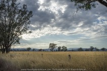 Glenrowan and Moyhu Road, Victoria - Australia 'Cattle Grazing Fields' Photographed by Karen Robinson Jan 2018 www.idoartkarenrobinson.com NB All images are protected by copyright laws. Comments: It's now summer time here in Victoria. On this day, the temperature was in the low 30's with the sun bearing down on vast stretches of grass fields, turning them from winter's lush green to summer's golden brown. It's a thirsty land at this time of the year! Waterholes and small creeks become important places for native wildlife to congregate where they take in their daily fresh water requirements. Sulphur Crested Cockatoos were abundant along this stretch of road, but trying to catch them within a photograph was not my forte. Well…maybe next time...