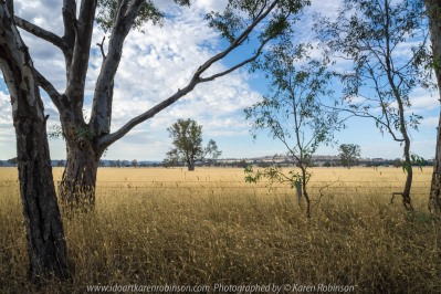 Glenrowan and Moyhu Road, Victoria - Australia 'Cattle Grazing Fields' Photographed by Karen Robinson Jan 2018 www.idoartkarenrobinson.com NB All images are protected by copyright laws. Comments: It's now summer time here in Victoria. On this day, the temperature was in the low 30's with the sun bearing down on vast stretches of grass fields, turning them from winter's lust green to summer's golden brown. It's a thirsty land at this time of the year! Waterholes and small creeks become important places for native wildlife to congregate where they take in their daily fresh water requirements. Sulphur Crested Cockatoos were abundant along this stretch of road, but trying to catch them within a photograph was not my forte. Glenrowan and Moyhu Road, Victoria - Australia 'Cattle Grazing Fields' Photographed by Karen Robinson Jan 2018 www.idoartkarenrobinson.com NB All images are protected by copyright laws. Comments: It's now summer time here in Victoria. On this day, the temperature was in the low 30's with the sun bearing down on vast stretches of grass fields, turning them from winter's lush green to summer's golden brown. It's a thirsty land at this time of the year! Waterholes and small creeks become important places for native wildlife to congregate where they take in their daily fresh water requirements. Sulphur Crested Cockatoos were abundant along this stretch of road, but trying to catch them within a photograph was not my forte. Well…maybe next time...…maybe next time...
