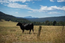 Cheshunt, Victoria - Australia 'Paradise Falls and Views of Mount Bulla' Photographs by Karen Robinson NB All images are protected by copyright laws. Comments - On our way to Paradise Falls, we stopped so I could take this photograph which features way in the distance - Mount Bulla. In the foreground, a beautiful black cow standing alone became very curious as to why we were there!