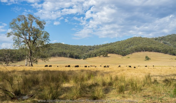 King Valley, Victoria - Australia 'Cattle Grazing Fields' Photographed by Karen Robinson NB All images are protected by copyright laws. Comments: Featuring within this scene are a small number of Australian gum trees which offer small shaded areas during the very hottest part of the day. Australian bush covered mountain ranges help show us that before these lands were occupied by farmers, they would have been densly covered in bush. There is something sad about the disappearance of the nature bush...
