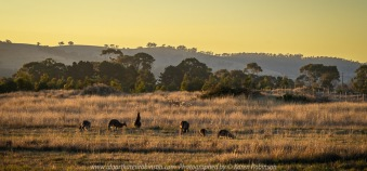 Beveridge, Victoria - Australia 'View from Golf Course' Photographed by Karen Robinson April 2018 Comments: Sunset looking away from Golf Course towards Mountain Range. Kangaroos in the foreground feeding on the local grasses.
