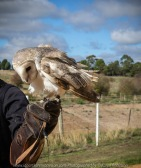 Miners Rest, Victoria - Australia 'Full Flight Birds of Prey' Photographed by Karen Robinson April 2018 NB. All images are protected by copyright laws. Comments - A day with the Craigieburn Camera Club Photography members - visiting and photographing amazing flight displays with stunning Australian raptors and owls. - Barn Owl