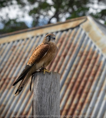 Miners Rest, Victoria - Australia 'Full Flight Birds of Prey' Photographed by Karen Robinson April 2018 NB. All images are protected by copyright laws. Comments - A day with the Craigieburn Camera Club Photography members - visiting and photographing amazing flight displays with stunning Australian raptors and owls - Kestrel