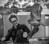 Miners Rest, Victoria - Australia 'Full Flight Birds of Prey' Photographed by Karen Robinson April 2018 NB. All images are protected by copyright laws. Comments - A day with the Craigieburn Camera Club Photography members - visiting and photographing amazing flight displays with stunning Australian raptors and owls - Barking Owl