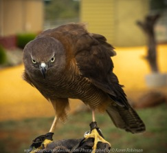 Miners Rest, Victoria - Australia 'Full Flight Birds of Prey' Photographed by Karen Robinson April 2018 NB. All images are protected by copyright laws. Comments - A day with the Craigieburn Camera Club Photography members - visiting and photographing amazing flight displays with stunning Australian raptors and owls - Brown Goshawk