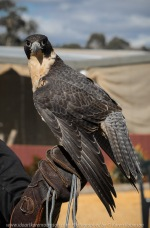 Miners Rest, Victoria - Australia 'Full Flight Birds of Prey' Photographed by Karen Robinson April 2018 NB. All images are protected by copyright laws. Comments - A day with the Craigieburn Camera Club Photography members - visiting and photographing amazing flight displays with stunning Australian raptors and owls - Peregrine Falcon