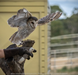 Miners Rest, Victoria - Australia 'Full Flight Birds of Prey' Photographed by Karen Robinson April 2018 NB. All images are protected by copyright laws. Comments - A day with the Craigieburn Camera Club Photography members - visiting and photographing amazing flight displays with stunning Australian raptors and owls - Masked Owl