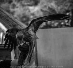Miners Rest, Victoria - Australia 'Full Flight Birds of Prey' Photographed by Karen Robinson April 2018 NB. All images are protected by copyright laws. Comments - A day with the Craigieburn Camera Club Photography members - visiting and photographing amazing flight displays with stunning Australian raptors and owls - Whistling Kite