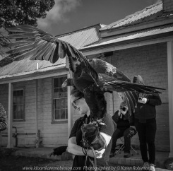 Miners Rest, Victoria - Australia 'Full Flight Birds of Prey' Photographed by Karen Robinson April 2018 NB. All images are protected by copyright laws. Comments - A day with the Craigieburn Camera Club Photography members - visiting and photographing amazing flight displays with stunning Australian raptors and owls - Wedged Tailed Eagle