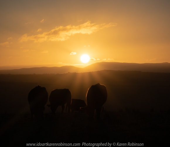 Mickleham, Victoria - Australia 'Sunset' Photographed by Karen Robinson July 2018 NB. All images are protected by copyright laws Comments - Just at the sun was about to hide behind mountains in the distance, I was able to capture a photograph with the cattle grazing at the top of the hill - silhouetted against a golden backdrop.