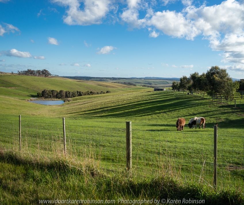 Mickleham, Victoria - Australia 'Farmland' Photographed by Karen Robinson NB. All images are protected by copyright laws Comments - Glorious sunny day photographing winter green farmland fields bathed in the afternoon light thus showcasing intense green and blue landscape whle cattle quietly graze.