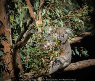 Healesville, Victoria - Australia 'Healesville Sanctuary - Visit No.1' Photographed by Karen Robinson September 2018 NB. All images are protected by copyright laws. Comments - This was our first visit to Healesville Sanctuary (Zoos Victoria) for many years. On this beautiful spring day we managed to cover just part of the sanctuary with the intention to revisit again at a later date to photograph other animals and bird not covered at this particular visit. Photographing them was certainly a challenge for me! Photograph featuring Koala happily munching on eucalyptus leaves! #Splendid #Nature #Wondrous #Care