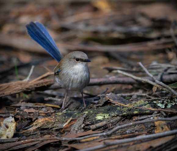 Kinglake West, Victoria - Australia 'Masons Falls around picnic area' Photographed by daughter Kelly August 2018 NB. All images are copyright protected Comments - A beautiful winter's day walking around this natural reserve. Superb Fairy-wren hopping about within the ground foliage around the picnic area.