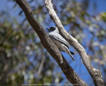 Greenvale, Victoria - Australia 'Woodlands Historic Park' Photographed by Karen Robinson October 2018 Comments: Beautiful spring day trying out my new lens for bird photography with my hubby and daughter with her baby, Maddie - our grandaughter. Photograph featuring a pair of nesting Black-faced Woodswallows.