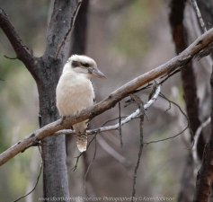 Greenvale, Victoria - Australia 'Woodlands Historic Park' Photographed by Karen Robinson October 2018 Comments: Beautiful spring day trying out my new lens for bird photography with my hubby and daughter with her baby, Maddie - our grandaughter. Photograph featuring Laughing Kookaburra.