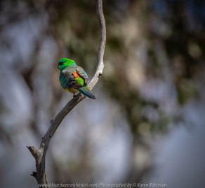 Greenvale, Victoria - Australia 'Woodlands Historic Park' Photographed by Karen Robinson October 2018 Comments: Beautiful spring day trying out my new lens for bird photography with my hubby and daughter with her baby, Maddie - our grandaughter. Photograph featuring Red Rumped Parrot - Male.