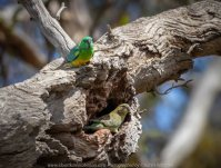 Greenvale, Victoria - Australia 'Woodlands Historic Park' Photographed by Karen Robinson October 2018 Comments: Beautiful spring day trying out my new lens for bird photography with my hubby and daughter with her baby, Maddie - our grandaughter. Photograph featuring Red Rumped Parrot - Male (colourful) and Female (below).