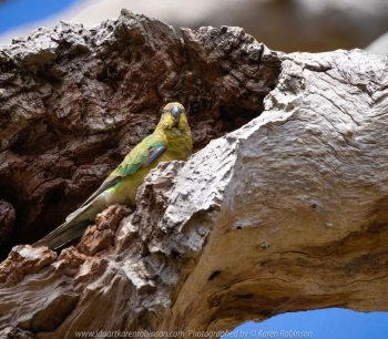 Greenvale, Victoria - Australia 'Woodlands Historic Park' Photographed by Karen Robinson October 2018 Comments: Beautiful spring day trying out my new lens for bird photography with my hubby and daughter with her baby, Maddie - our grandaughter. Photograph featuring Red Rumped Parrot - Female.