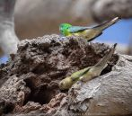 Greenvale, Victoria - Australia 'Woodlands Historic Park' Photographed by Karen Robinson October 2018 Comments: Beautiful spring day trying out my new lens for bird photography with my hubby and daughter with her baby, Maddie - our grandaughter. Photograph featuring Red Rumped Parrot - Male above and Female below at their nest.