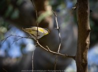 Mickleham, Victoria - Australia 'Mt Ridley Nature Reserve' Photographed by Karen Robinson October 2018. Comments - Mid-morning walk through a local reserve looking for birds to photograph. The sun was shining and a soft breeze kept us cool - it made for a very pleasant outing. Photograph featuring Striated Paradalote Bird.