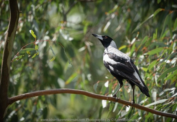 Mickleham, Victoria - Australia 'Mt Ridley Nature Reserve' Photographed by Karen Robinson October 2018. Comments - Mid-morning walk through a local reserve looking for birds to photograph. The sun was shining and a soft breeze kept us cool - it made for a very pleasant outing. Photograph featuring baby Australian Magpie calling out for its mother to come and feed it.