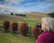 Comments: Yarra Glen Region, Victoria - Australia September 2018. The last day in September, a beautiful spring day, hubby and I decided to take a drive through the Yarra Glen Region. At this time of the year the valleys and hillsides are lush green. Vineyards feature widely throughout the region alongside of pastures where cattle happily grazed under the warm sunshine. Grey clouds gathered up along the mountains ranges as the day drifted towards its end. A beautiful spring day we so much enjoyed – a good to be alive day! NB: All images are protected by copyright laws Photograph from Karen Robinson www.idoartkarenrobinson.com
