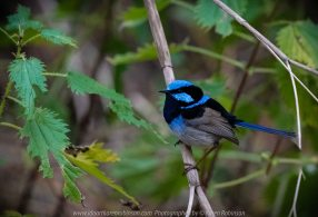Bulla, Victoria - Australia 'Organ Pipes National Park' Photographed by Karen Robinson November 2018 Comments - Overcast with a pleasant bush walking temperature, the National Park provided hubby and I with beautiful nature scenic landscape views and a varying number of birds to photograph. Photograph featuring Superb Fairy-Wren Male.