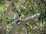 Bulla, Victoria - Australia 'Organ Pipes National Park' Photographed by Karen Robinson November 2018 Comments - Overcast with a pleasant bush walking temperature, the National Park provided hubby and I with beautiful nature scenic landscape views and a varying number of birds to photograph. Photograph featuring Masked Woodswallow.