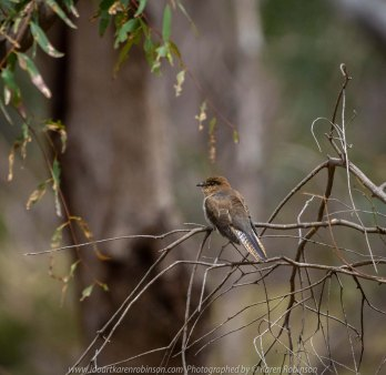 Bulla, Victoria - Australia 'Organ Pipes National Park' Photographed by Karen Robinson November 2018 Comments - Overcast with a pleasant bush walking temperature, the National Park provided hubby and I with beautiful nature scenic landscape views and a varying number of birds to photograph. Photograph featuring Fantail Cuckoo.