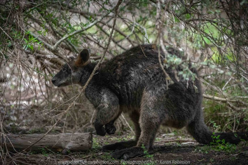 Bulla, Victoria - Australia 'Organ Pipes National Park' Photographed by Karen Robinson November 2018 Comments - Overcast with a pleasant bush walking temperature, the National Park provided hubby and I with beautiful nature scenic landscape views and a varying number of birds to photograph. Photograph featuring Black Swamp Wallaby.