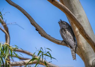 Bulla, Victoria - Australia 'Organ Pipes National Park' Photographed by Karen Robinson November 2018 Comments - Overcast with a pleasant bush walking temperature, the National Park provided hubby and I with beautiful nature scenic landscape views and a varying number of birds to photograph. Photograph featuring Tawny Frogmouth Owl sleeping in Gum Tree.
