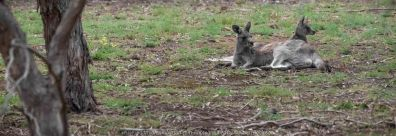 Bulla, Victoria - Australia 'Organ Pipes National Park' Photographed by Karen Robinson November 2018 Comments - Overcast with a pleasant bush walking temperature, the National Park provided hubby and I with beautiful nature scenic landscape views and a varying number of birds to photograph. Photograph featuring Female Kangaroo with her Joey.