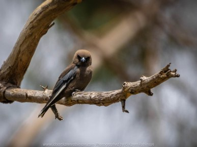 Bulla, Victoria - Australia 'Organ Pipes National Park' Photographed by Karen Robinson November 2018 Comments - Overcast with a pleasant bush walking temperature, the National Park provided hubby and I with beautiful nature scenic landscape views and a varying number of birds to photograph. Photograph featuring Dusky Woodswallow.
