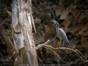 Bulla, Victoria - Australia 'Organ Pipes National Park' Photographed by Karen Robinson November 2018 Comments - Overcast with a pleasant bush walking temperature, the National Park provided hubby and I with beautiful nature scenic landscape views and a varying number of birds to photograph. Photograph featuring White-Faced Heron.