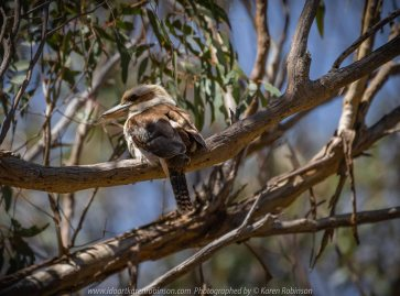 Greenvale, Victoria - Australia 'Woodlands Historical Park' Photographed by Karen Robinson November 2018 Comments - a Day with daughter, grand daughter and hubby walking through this historical park taking photographs of animals and birds. Photograph featuring Laughing Kookaburra perched high up in a gum tree.